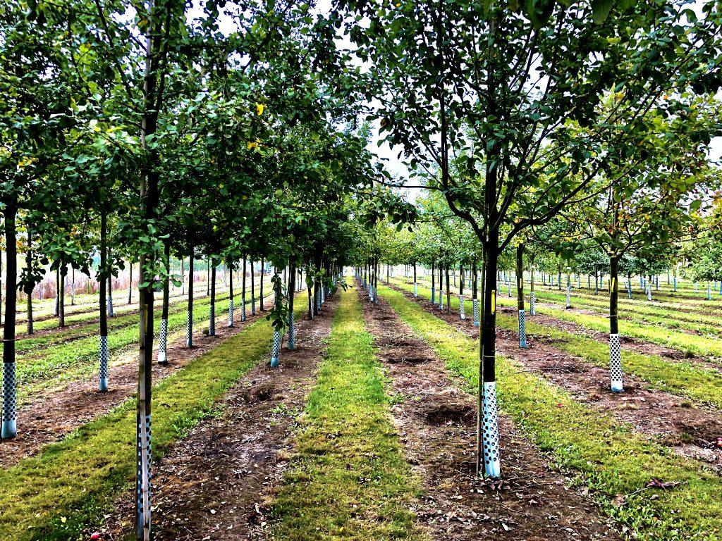"""Eine ganze Reihe der Bäume auf dem Dachpark werden Obst tragen. Hier stehen Apfelbäume der Sorte """"Roter Gravensteiner""""."""
