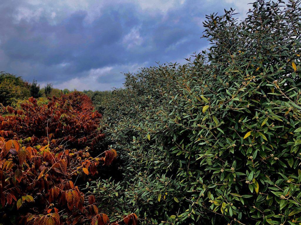 """Die weitläufigen """"Quartiere"""" der Baumschule von Ehren sind beeindruckend. Hier der Blick auf den """"Prager Schneeball"""", ein immergrünes Ziergehölz, das bis zu 300 cm hoch und 150 cm breit werden kann und bald den Stadtgarten auf dem Bunker St. Pauli ziert."""